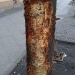 Dieser Baum wird es nicht überleben